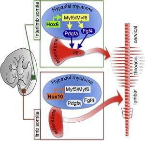 Au niveau du myotome de la région de la cage de thoracique de l'embryon de souris (en gris à gauche), les gènes Hox6 activent les gènes Myf5 et Myf6 qui induisent la formation des côtes par le sclérotome. Au niveau de la région lombaire, le rôle des gènes Hox10 est prédominant. En inhibant les gènes Myf5 et Myf6 du myotome, ils évitent la formation de côtes dans cette région du corps de la souris. © T. Vinagre et al.