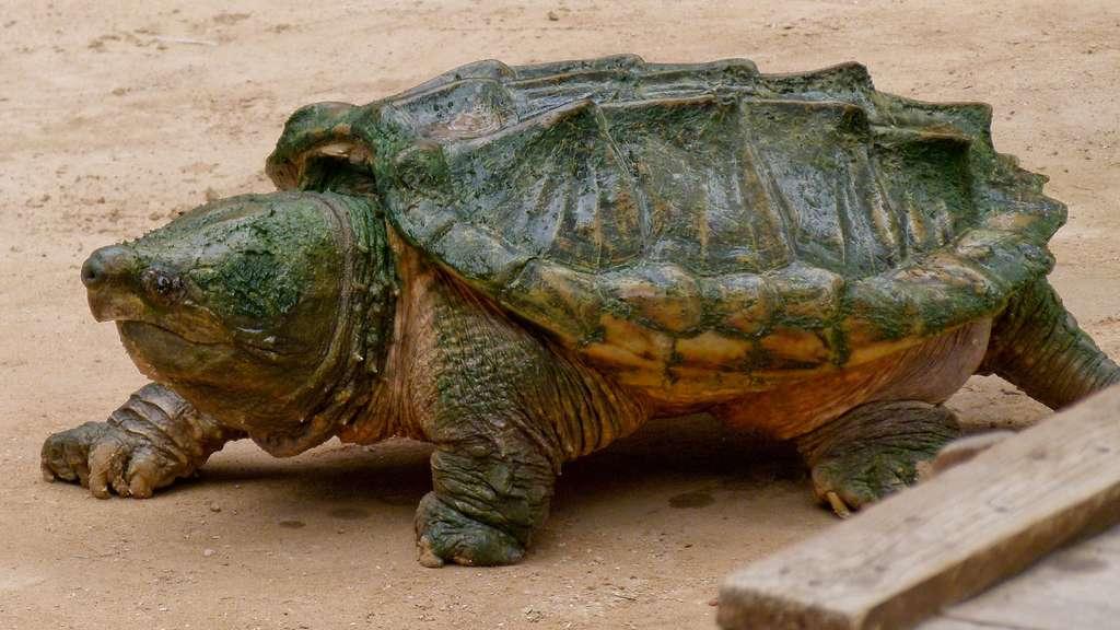La tortue alligator et sa puissante mâchoire