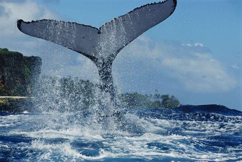 La baleine à bosse
