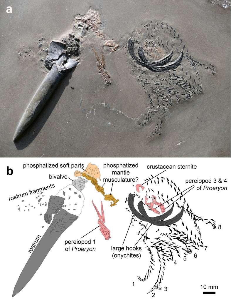 Les fossiles du crustacé et de la bélemnite emprisonnés dans les sédiments. © Christian Klug et al., Swiss Journal of Paleotonlogy