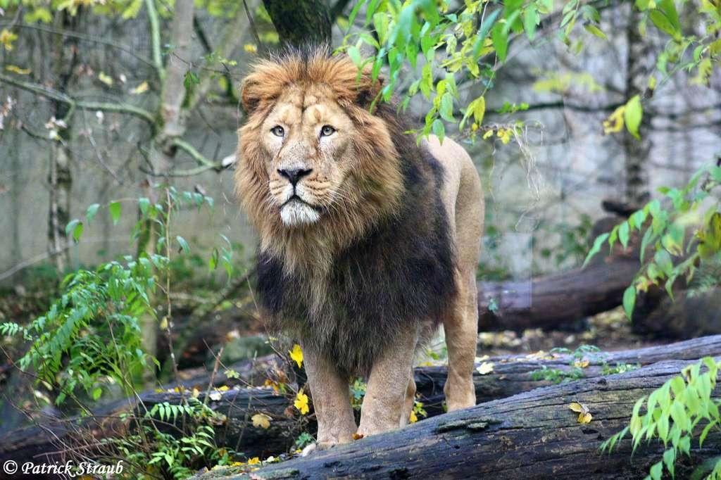 Jetpur, le lion d'Asie du zoo de Mulhouse. © Patrick Straub