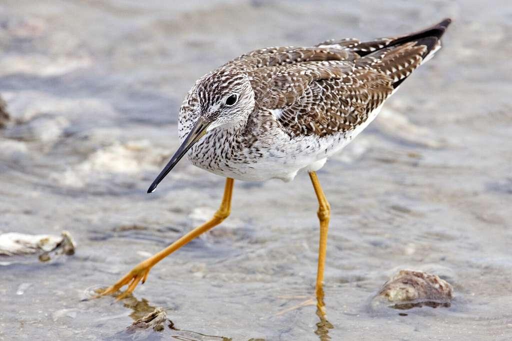 Le petit chevalier est un oiseau migrateur. Il se reproduit au bord des étangs d'Alaska et du Québec pour ensuite migrer vers le golfe du Mexique et le sud de l'Amérique du Sud. C'est le premier oiseau sauvage identifié comme porteur de la bactérie Staphylococcus aureus, qui résiste à la méticilline et se développe dans les milieux médicaux. © Alan D. Wilson, www.naturepicsonline.com, DP