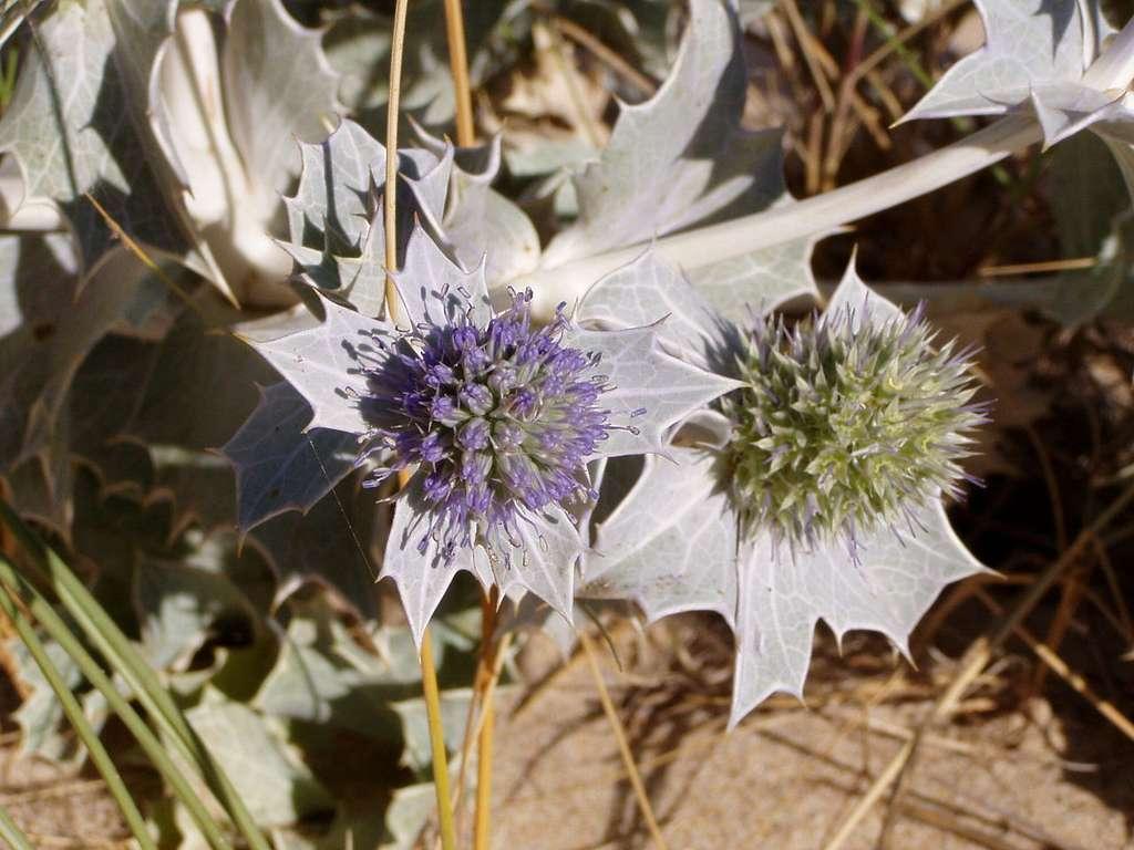 Eryngium maritimum. © Júlio Reis, Wikimedia Commons, CC by-nc 2.5