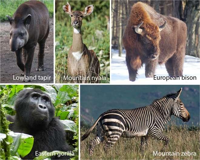 Portrait de grands herbivores en danger, de haut en bas et de gauche à droite : le tapir du Brésil (Tapirus terrestris), le nyala des montagnes (Tragelaphus buxtoni), le bison européen (Bison bonasus), le gorille de l'est (Gorilla beringei), le zèbre des montagnes (Equus zebra). © Dans l'ordre : T. Newsome, H. Hrabar, G. Kerley, P. Stoel, H. Hrabar