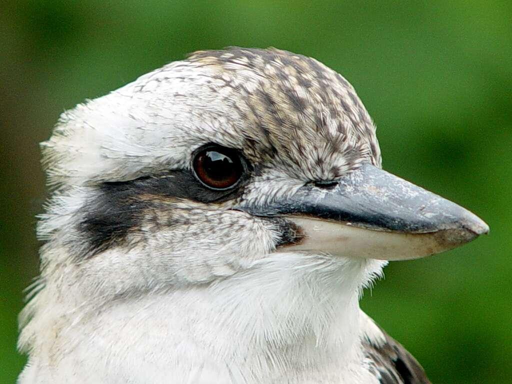 Le martin-chasseur géant, oiseau sacré d'Australie