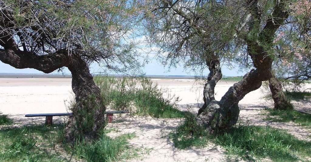 Bords des plages de La Hume à Gujan-Mestras bordées de tamaris et de pins francs. © Franck-fnba, Wikimedia commons, CC by-sa 4.0