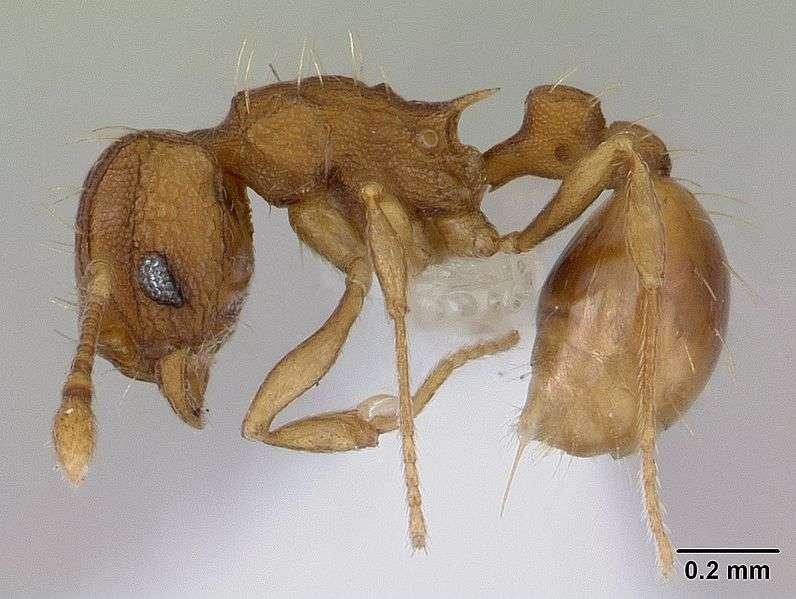 Wasmannia auropuntata, fourmis chez qui les reines sont issues d'une parthénogenèse. © April Nobile Creative Commons Attribution-Share Alike 3.0 Unported license