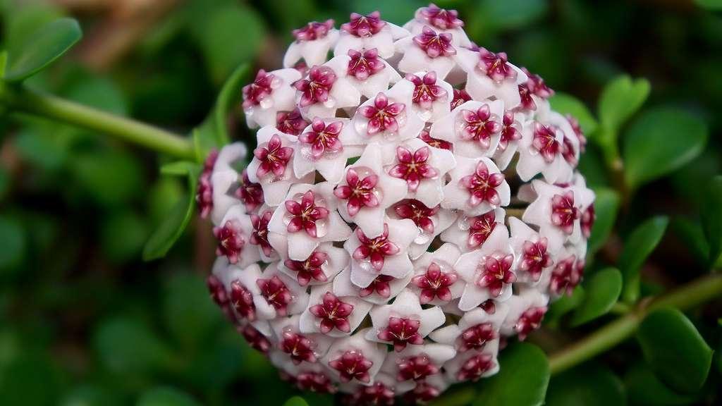 Les fleurs de porcelaine de la plante Hoya