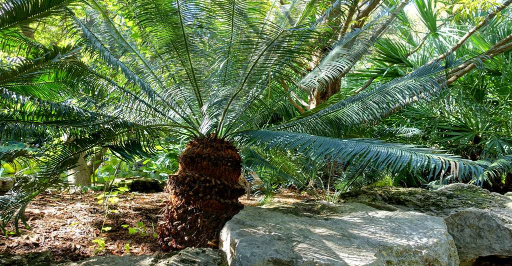 Cycas. © Daderot, Wikipedia commons, DP