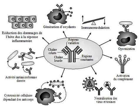 Les anticorps assument de nombreuses fonctions dans l'organisme, de la lutte contre les virus à la génération d'antioxydants. © Adapté de Casadevall, 2004