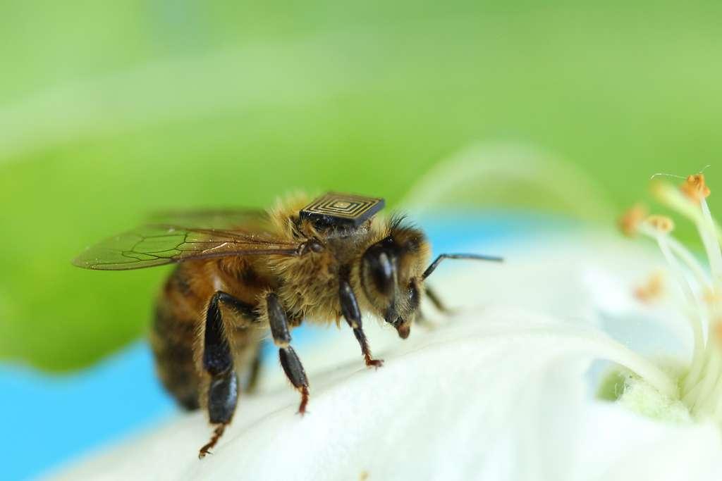 Le syndrome d'effondrement des colonies d'abeilles concerne les colonies d'abeilles domestiques et touche les élevages de souche européenne depuis 1998. © CSIRO