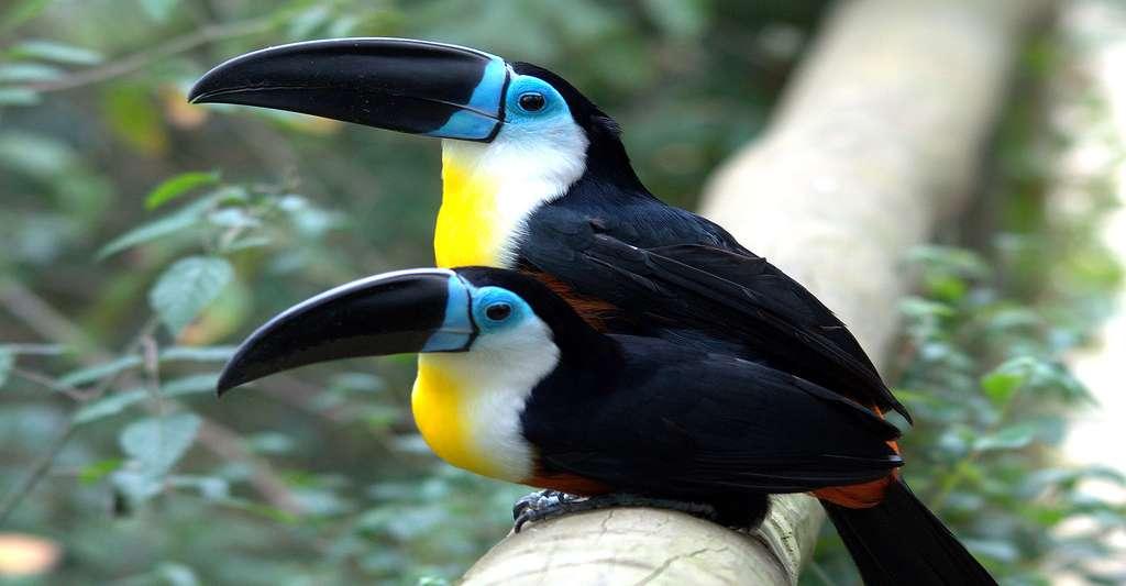 Le toucan ariel est une espèce de toucans présente en Guyane. © Brian Ralphs, CC by 2.0