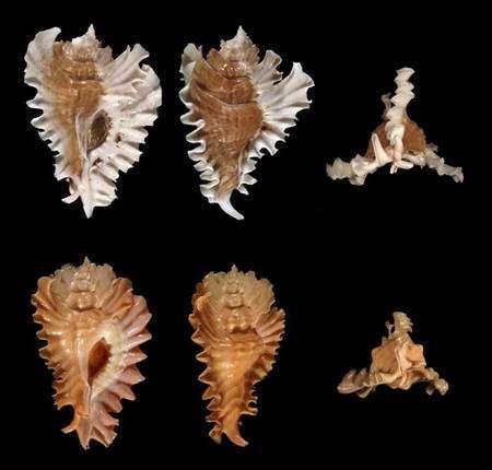 Fig. 5 : Pterynotus phyllopterus. © Jean-Pierre Pointier - Tous droits réservés