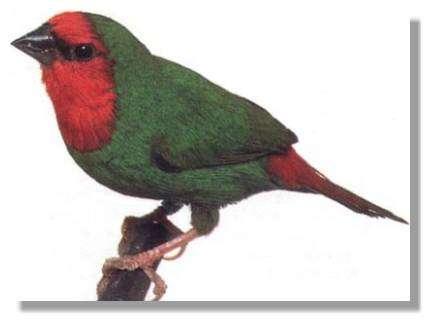 Le cardinal (Erytrhrura psittacea)