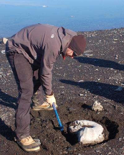 Thomas Tobin extrait le fossile d'une ammonite géante sur l'île James Ross (Antarctique). Ces céphalopodes ont disparu peu de temps avant la crise biologique du Crétacé-Tertiaire. © Eric Steig, U. of Washington