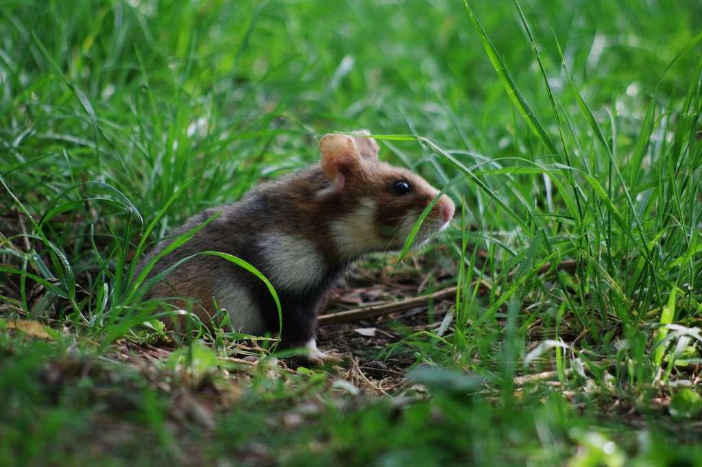Victime de dénutrition, le grand hamster d'Alsace délaisse sa progéniture et la mange. © eliag, iNaturalist