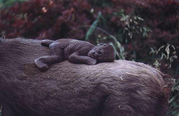 Femelle Gorille et son petit