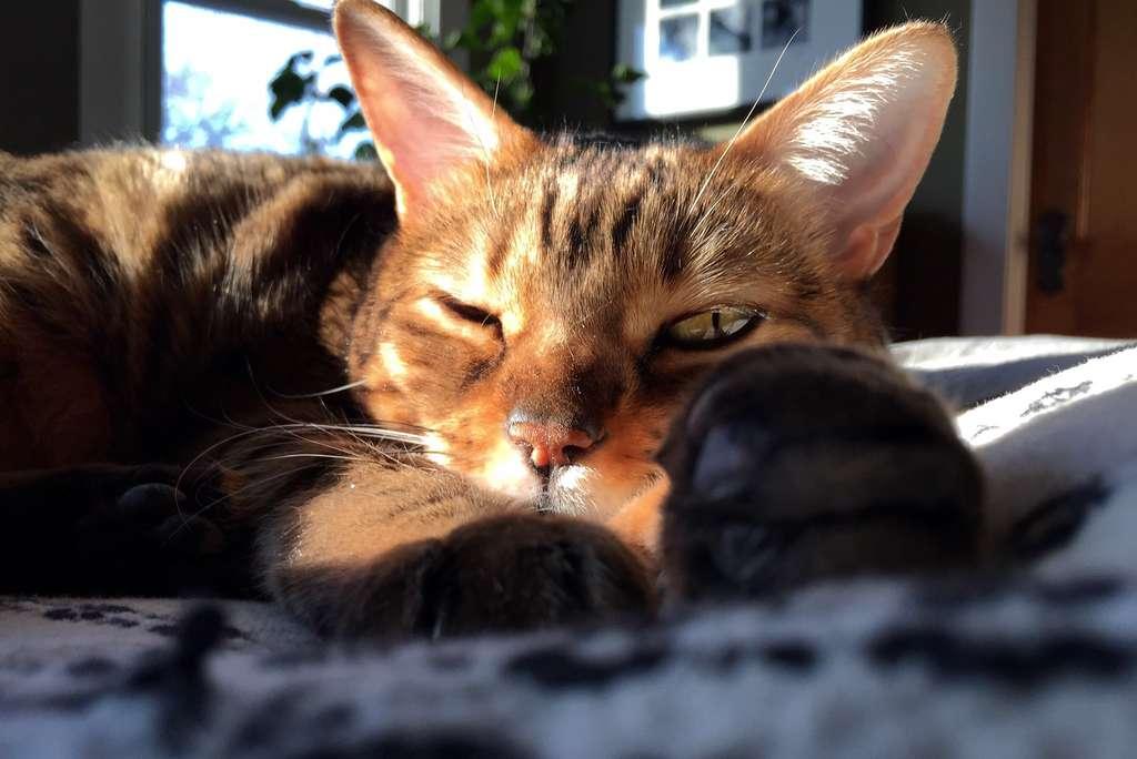 Attention au chat qui dort : il ne guette que la bonne occasion pour vous sauter dessus. © pmonaghan, Flickr
