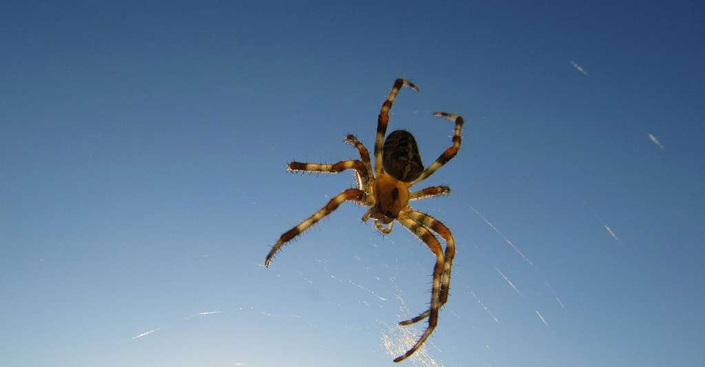 Araignée. © CZESS, DP