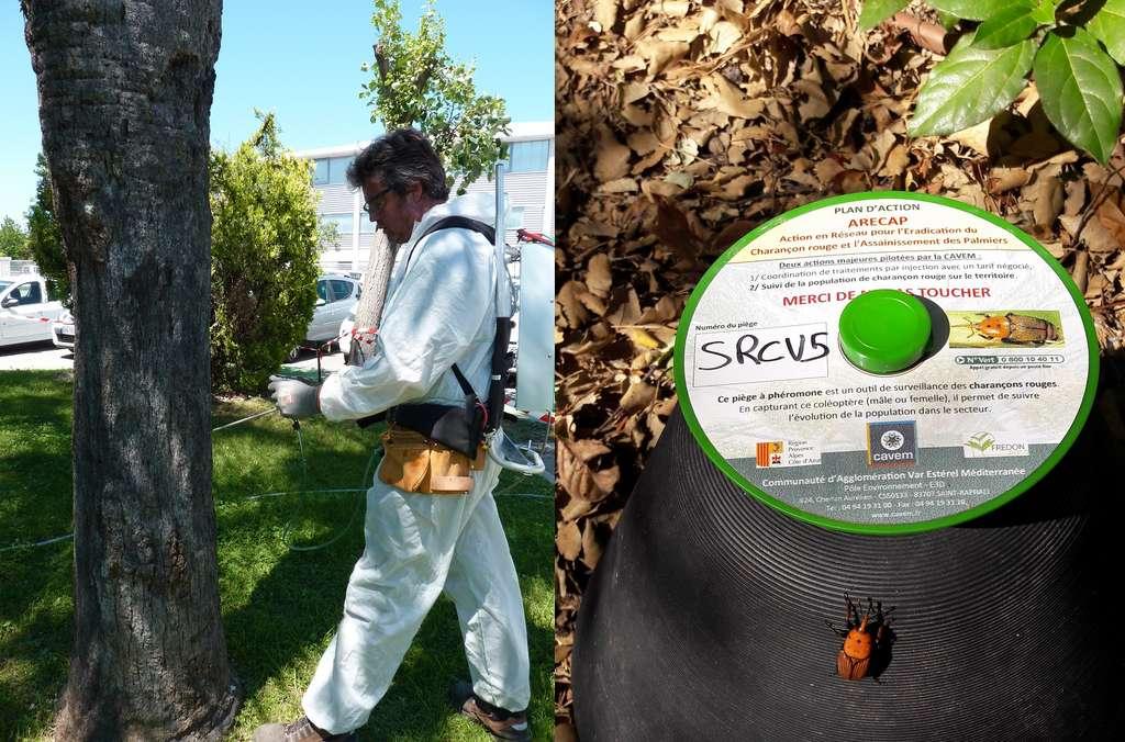 Pour traiter les palmiers préventivement contre une infestation par les charançons rouges, des injections d'insecticide chimique sont pratiquées dans le tronc. En complément, des pièges peuvent être installés pour contrôler l'évolution de la population de charançons et éviter qu'ils s'installent dans les palmiers. © Cavem