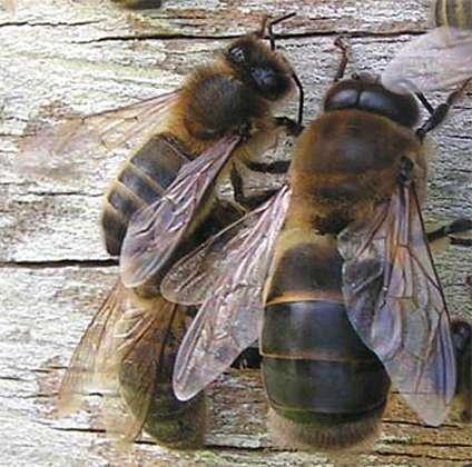 Une abeille (à gauche) et un faux bourdon (à droite). © Banque national de photo en SVT, DP