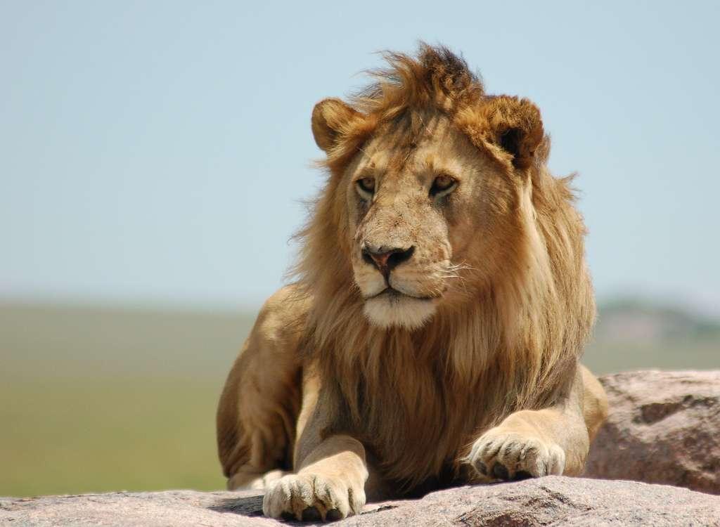 Le lion nécessite plus de dix kilogrammes de viande par jour. © Charkie Kindel, CC by-nc-sa 2.0