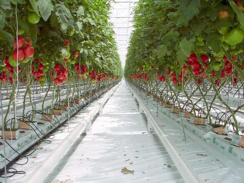 Culture de tomates hors-sol ou hydroponique. En production industrielle, les plants sont alimentés au goutte-à-goutte avec une solution adaptée. © Carlos Yo, CC by-sa 3.0