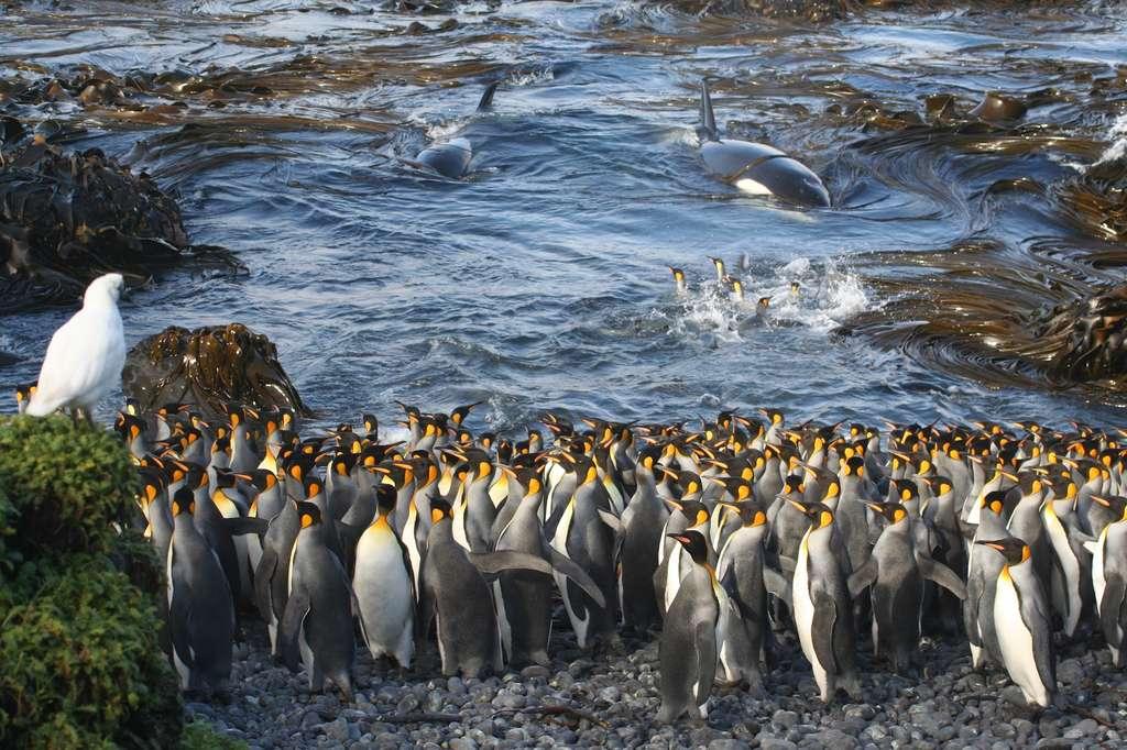 Photo intitulée Waiting in the Shallows montrant des orques surprenant des manchots empereurs, sur une île subantarctique. © Nico de Bruyn, université de Pretoria
