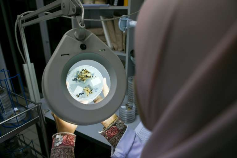 Une chercheuse étudie des spécimens de palmiers à huile nains dans un laboratoire à Bangi, le 18 décembre 2018 en Malaisie. © Mohd Rasfan - AFP