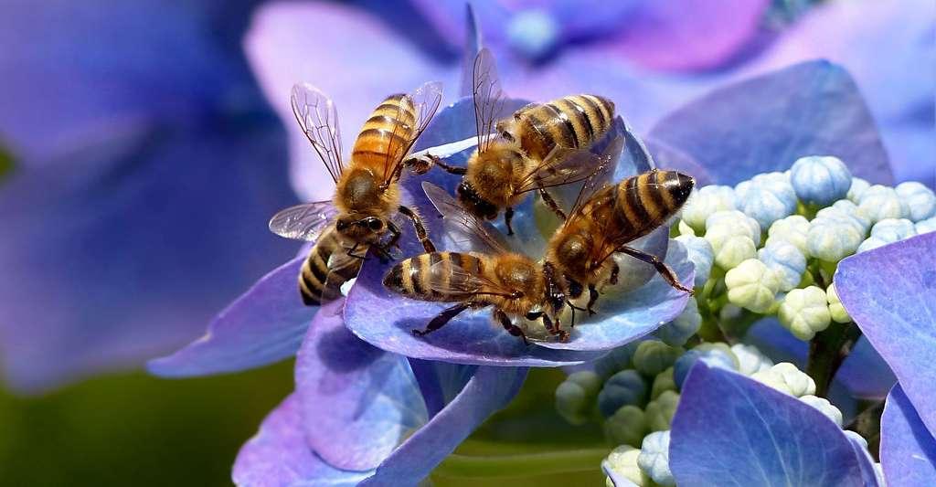 Les abeilles ont un langage très élaboré. © Oldiefan, Pixabay, DP