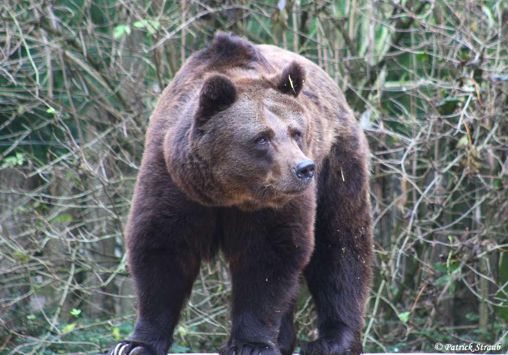Ours brun (Ursus arctos). © Patrick Straub
