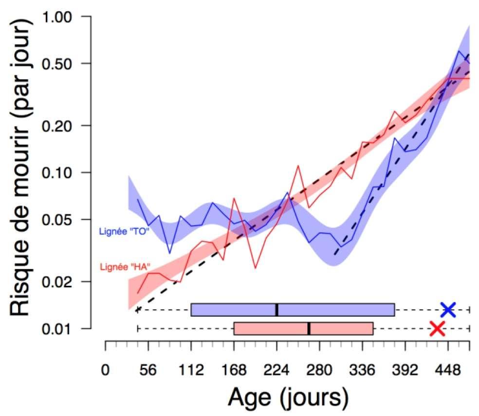 Les trajectoires de mortalité (ici, le risque de mourir par jour) des deux lignées de collembole, TO et HA. La lignée TO, en bleu, commence à vieillir beaucoup plus tardivement que la lignée rouge mais souffre d'une mortalité de base plus élevée. Son espérance de vie (le centre des barres horizontales) est ainsi réduite par rapport à la lignée HA qui, elle, commence à vieillir beaucoup plus tôt, mais plus lentement. © François Mallard