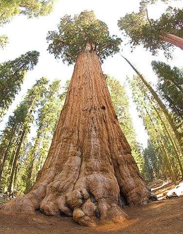 Le « Général Sherman » est un séquoia géant, l'un des plus gros jamais recensés, âgé de 2.000 ans. © Jim Bahn, Flickr, CC by 2.0