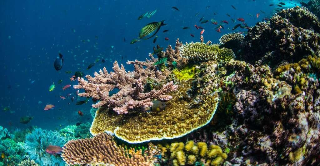 Les récifs coralliens sont une barrière naturelle. Ici, un récif naturel en très bonne santé où les espèces rivalisent même pour obtenir plus d'espace. © Guillaume Holzer, Coral Guardian, tous droits réservés
