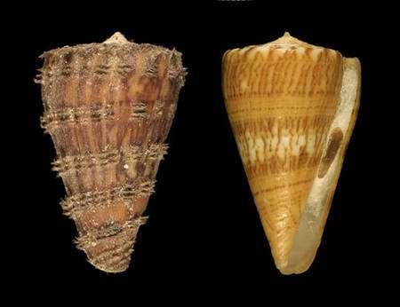 Fig. 12 Conus boui © Jean-Pierre Pointier - Tous droits réservés