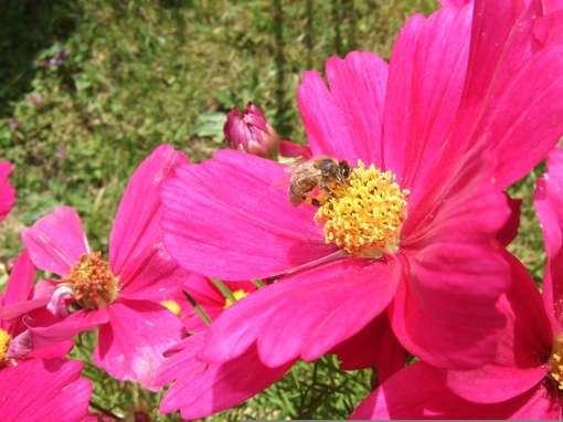 Les abeilles, attirées par la couleur des fleurs, jouent un rôle important dans la pollinisation. © Bernard Valeur, DR