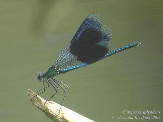 Caloptéryx éclatant Calopteryx splendens (Zygoptères) - Tous droits réservés
