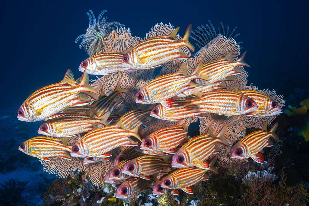 Un banc de poissons-écureuils (Sargocentron seychellense) en formation serrée. © Gabriel Barathieu, tous drois réservés