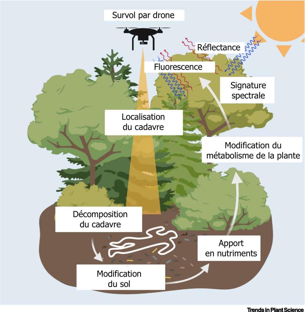 Comment détecter un cadavre grâce aux plantes. © Trends in Plant Science, traduction et adaptation C.D pour Futura