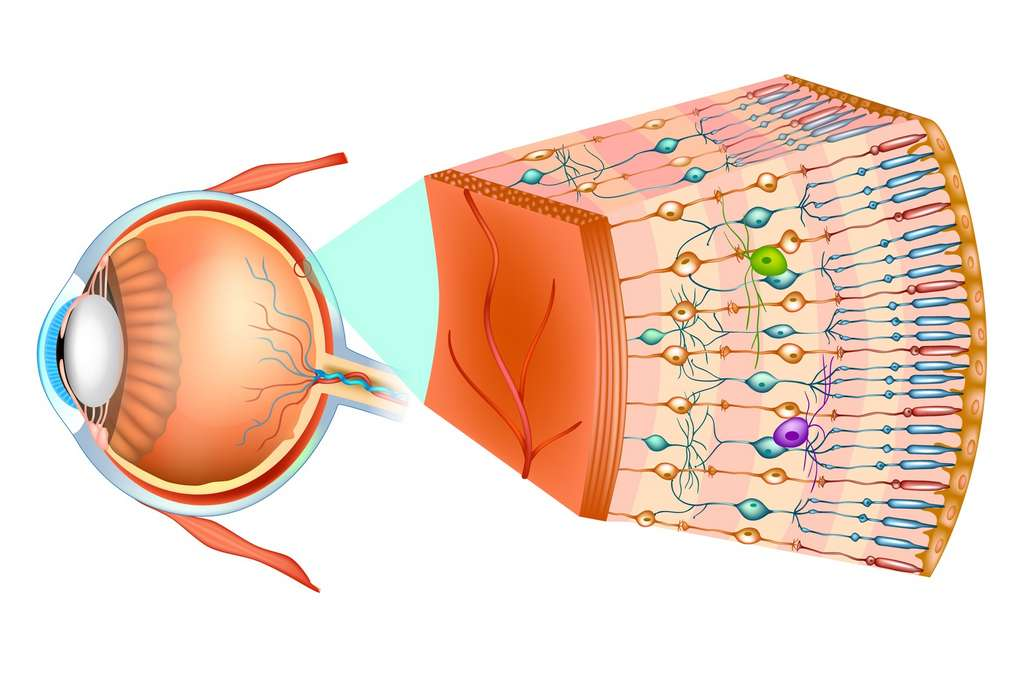 À l'arrière de l'œil, dans la rétine, se trouvent des cellules photoréceptrices, les cônes et les bâtonnets. Ces cellules envoient un message à des neurones qui le transmettent à d'autres neurones, dont l'information transite par le nerf optique. © sakurra, Fotolia