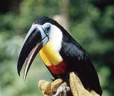 Le toucan ariel a le bec noir, le tour de l'œil bleu, la gorge blanche, jaune et rouge. © Paul Siffert, Gepog