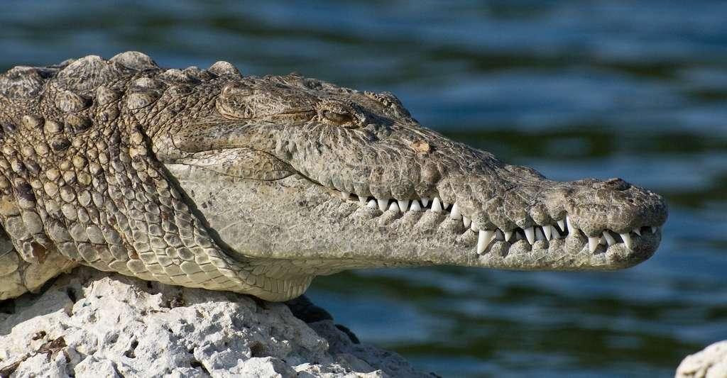 Les crocodiles chargés en méthyltestostérone pourraient se montrer plus agressifs envers les humains. © tpsdave, Pixabay, DP