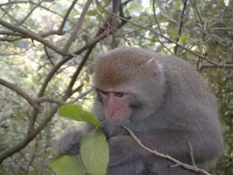 Macaque de Formose se nourrissant. © Minna J. Hsu, domaine public