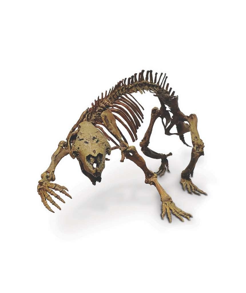 Adalatherium pesait quelque trois kilogrammes. C'est peu, mais beaucoup pour l'époque à laquelle il vivait. La plupart des mammifères du Crétacé ne dépassaient en effet pas la taille d'une souris. © Simone Hoffmann et Kathrine Pan, Taylor and Francis Group