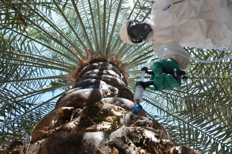 Un champ de palmiers dans l'oasis désertique d'Al-Ain, aux Émirats arabes unis, le 13 février 2020. Ici, un membre de l'équipe technique de l'Autorité d'agriculture et de sécurité alimentaire d'Abou Dhabi injecte un sérum dans un palmier pour lutter contre l'insecte charançon rouge. © Karim Sahib, AFP