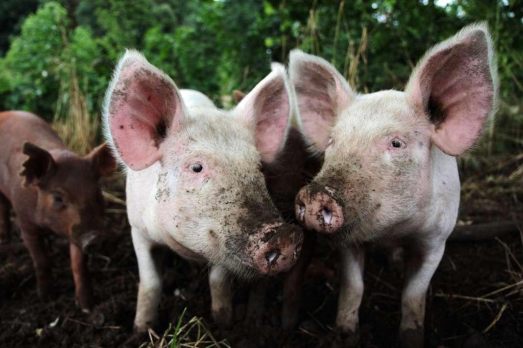 Les polymyxines sont des antibiotiques utilisés en médecine vétérinaire. Leur utilisation a favorisé l'émergence de résistances dans des élevages de cochons en Chine. © Jessica Kennedy, Flickr, CC by-nc-nd 2.0