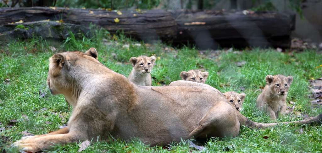 La première sortie des lionceaux. © Thomas Itty, M2A