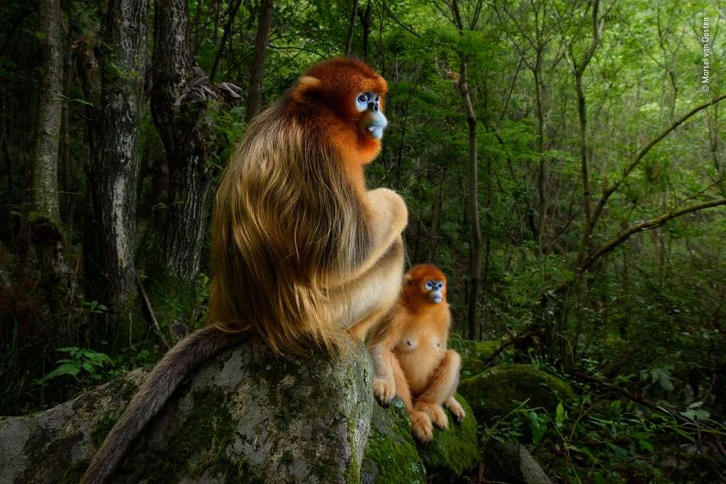 «Un couple en or» «est un rappel symbolique de la magnificence de la nature et combien nous avons à perdre avec l'appauvrissement de la biodiversité» a déclaré la présidente du jury. © Marsel van Oosten