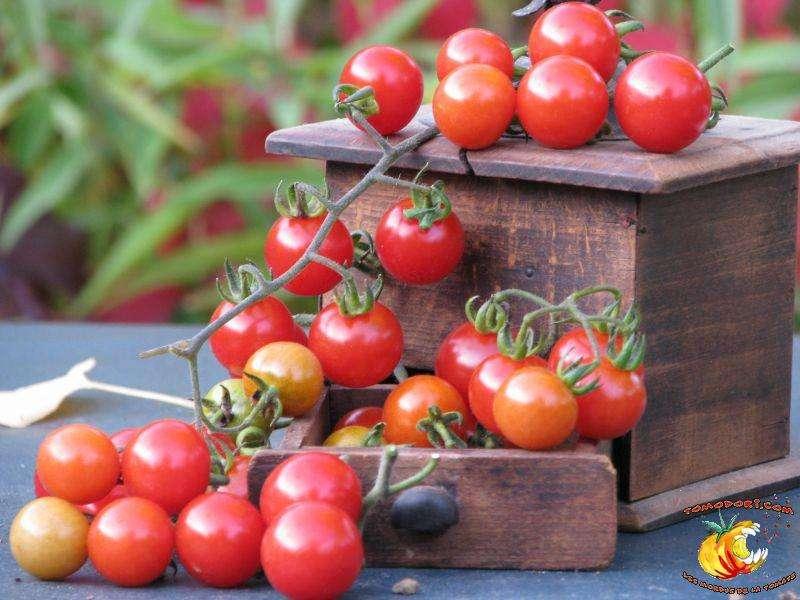 La variété de tomates Barbaniaka forme de longues grappes de fruits ronds de 3 à 5 grammes. © Tomodori
