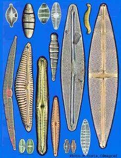 Diatomées en eau propre. © Coste, Cémagref